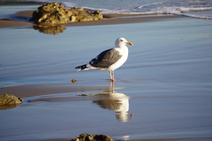 Crystal Cove Sea Gull