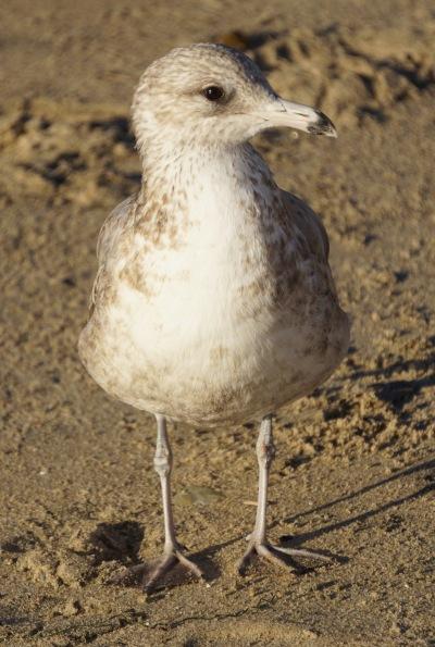 Crystal Cove Sea Gull