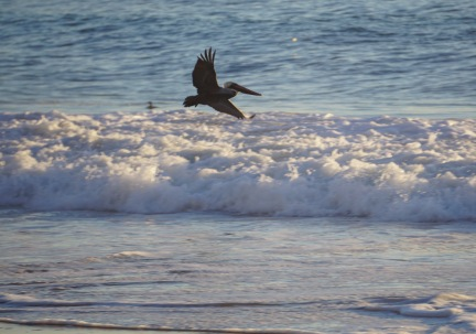 Crystal Cove Pelican