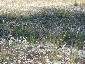 Medow of white Wildflowers