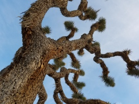 Joshua Tree Close-up