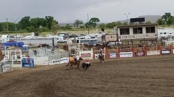Mule Calf Roping