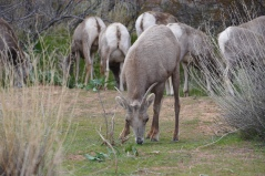 Big Horn Sheep at Mouse's Tank Trailhead